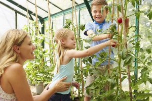 Mother And Children Harvesting Tomatoes In Greenhouse Together